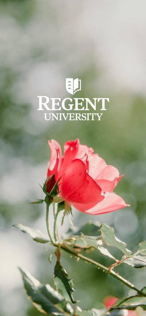 A rose at the beautiful campus of Regent University in Virginia Beach.